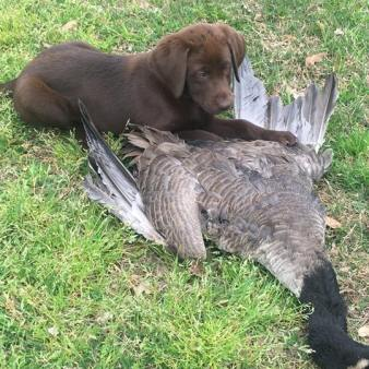 Mercy with a goose bigger than her at 9 weeks old!